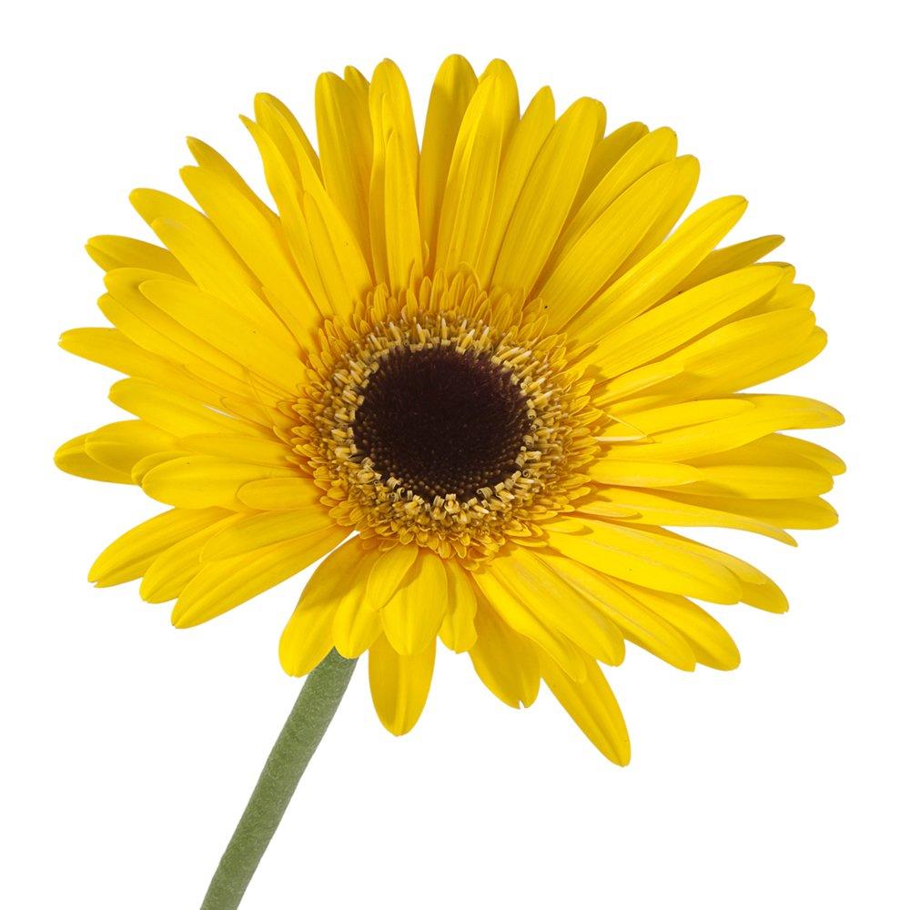 Vistaflor - Wholesale Gerberas (70 Yellow) by VISTAFLOR