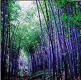 New Rare purple Timor Bambusa black Bamboo plant Seeds easy grow courtyard 100 PCS - package Organic bonsai home