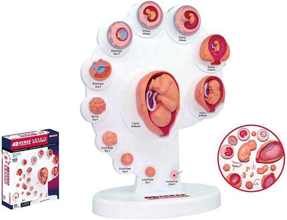 QJXF 4D feto Crecimiento de los órganos anatomía, desmontaje de Piezas del Rompecabezas 21 Herramienta de enseñanza Montaje Juguete de la Ciencia médica