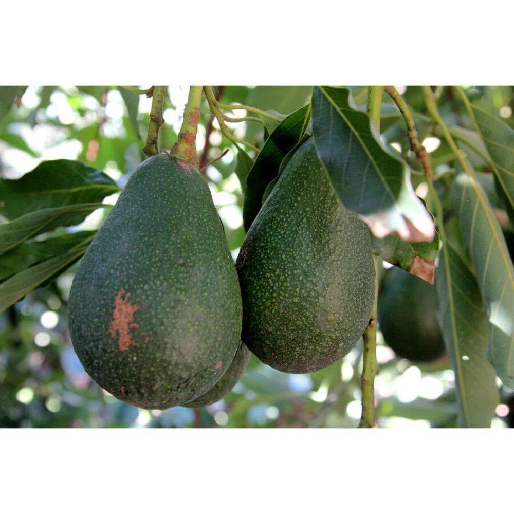 Avocado Dwarf Grafted Plants 30-36 Inch Height in 3 Gallon Pot #BS1