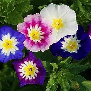 David's Garden Seeds Flower Morning Glory Dwarf Mix 3987 (Multi) 50 Non-GMO, Open Pollinated Seeds
