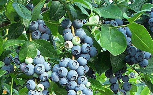 Tifblue Blueberry - Healthy 2 Year Old Bare Root Plants - Sweet Fruit – 2pk