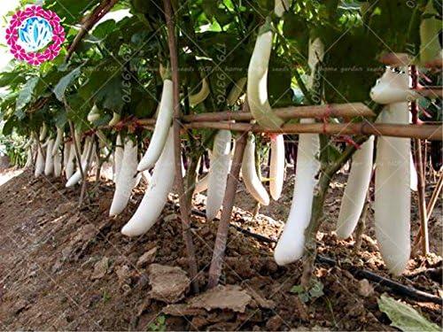 100 piezas semillas de berenjena larga blancos asi/áticos semillas de frutas y verduras planta alta tasa de germinaci/ón para el hogar y jard/ín planta f/ácil de cultivar
