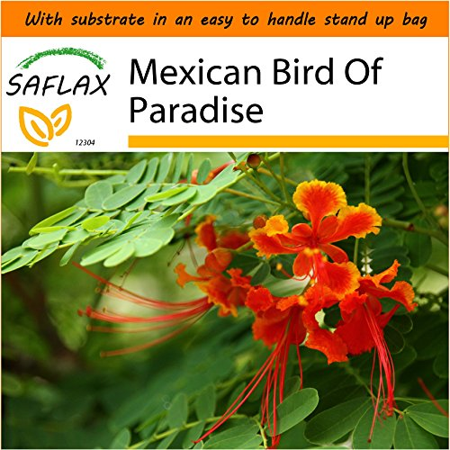 SAFLAX - Garden in The Bag - Mexican Bird of Paradise - 10 Seeds - Caesalpinia pulcherrima (Care Of Mexican Bird Of Paradise Plant)