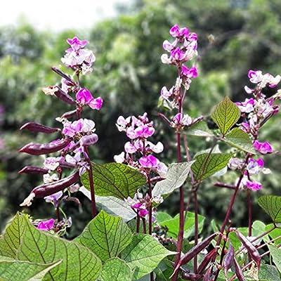 Amazon Com Outsidepride Hyacinth Bean 100 Seeds Flowering