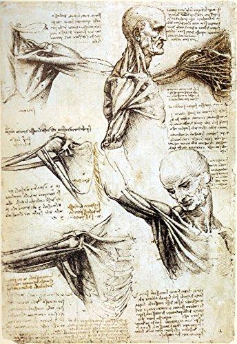 Leonardo da Vinci - Anatomy Study of Shoulders - Royal Collection Trust UK - Windsor Castle 30
