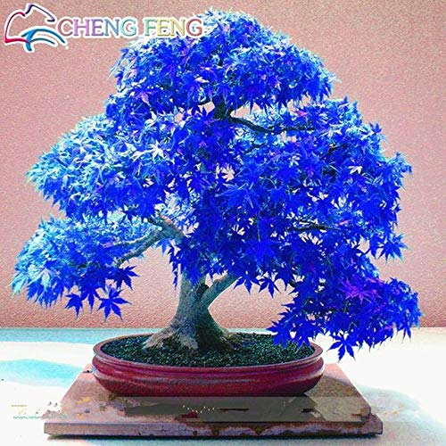 Which are the best bonsai maple tree blue available in 2019?