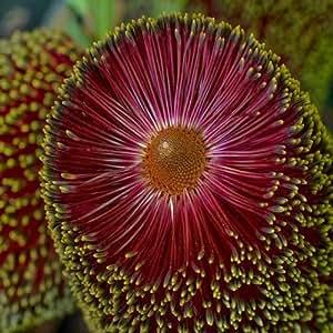Banksia praemorsa - 1 unidad - 3Litros