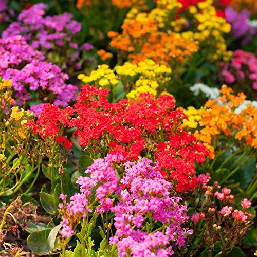 alyssum-wonderland-series-flower-garden-seeds-color-mix-approx-5000-seeds-annual-lobularia-maritima
