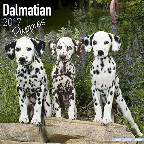 Dalmatian Puppies Calendar 2017 - Dog Breed Calendar - Wall Calendar 2016-2017