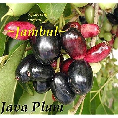 ~JAVA PLUM~ Syzygium cumini JAMBUL FRUIT TREE LIVE Medium Sz Plant Potd Seedling : Garden & Outdoor