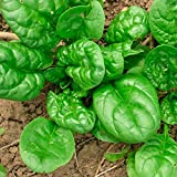 Vegetable Seeds Leaf Spinach Matador Organically Grown Heirloom NON-GMO