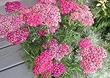 Achillea millefolium is a flowering plant .: Yarrow