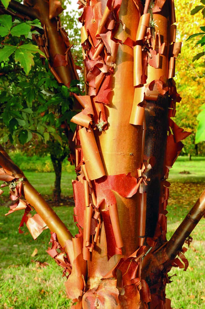Details About Paperbark Maple - Acer griseum - 2 Gallon 3 to 4 Foot Tall Live Tree - Bare Root