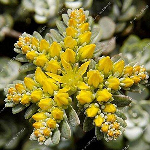 100 piezas distintas semillas Lithops que viven las semillas de flor de piedra Cactus Cactus Succulent Raras Bonsai colorido carnoso Planta Fácil Crecer Jardín SVI