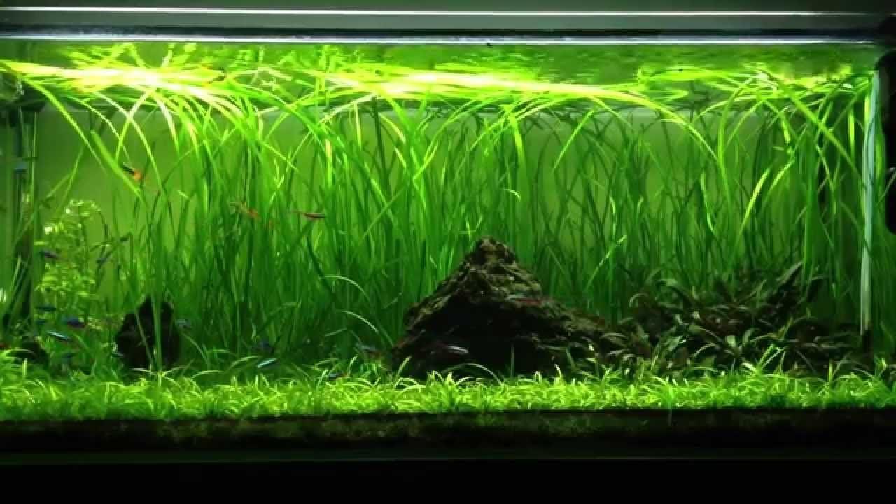 15 5 to 50 STRAIGHT VALLIS Live Plant for Tropical Aquarium fish tank Vallisneria Spiralis