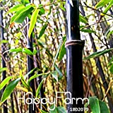 Hot Sale!Rare purple Timor Bamboo Seeds Bambusa black bamboo seeds planted courtyard Yi 100 Seeds/Pack
