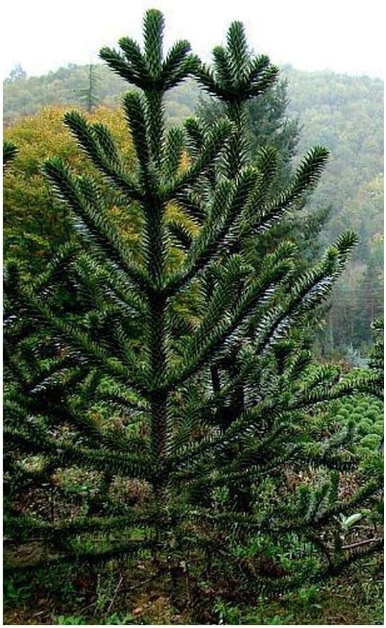 Araucaria Araucana Monkey Puzzle Monkey Tail Tree 3 Seeds Amazon Ca Patio Lawn Garden