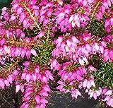 Pink Winter Heath, Erica carnea. Blooms January-March