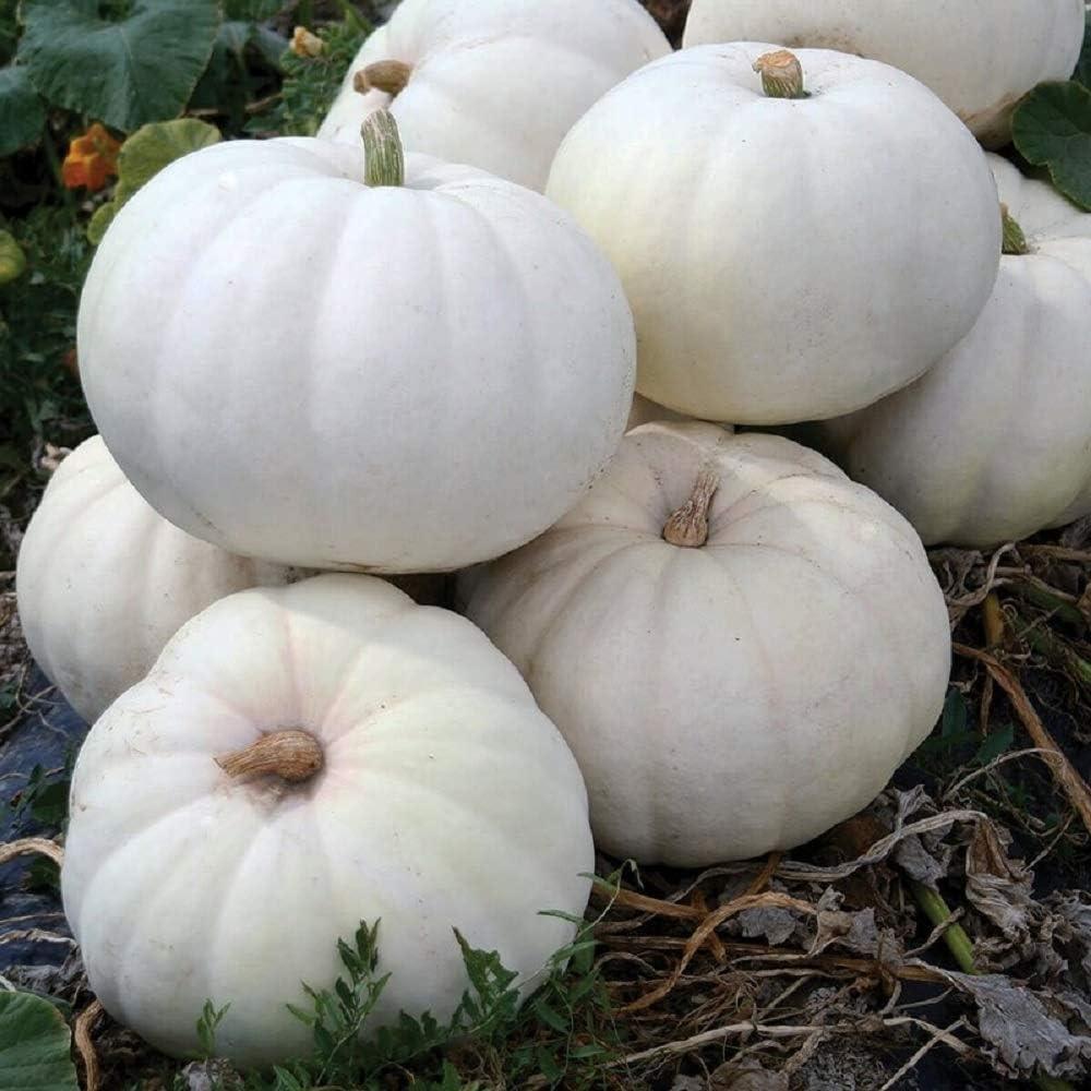 David's Garden Seeds Pumpkin White Stella Luna 4446 (White) 25 Non-GMO, Hybrid Seeds