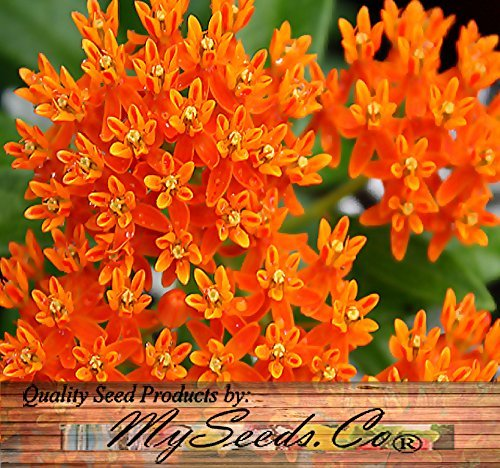 30 ORANGE GLORY BUTTERFLY WEED MILKWEED Asclepias Tuberosa Flower Seeds