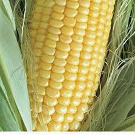 Corn NON-GMO Organic 40 seeds per package Bantam seeds
