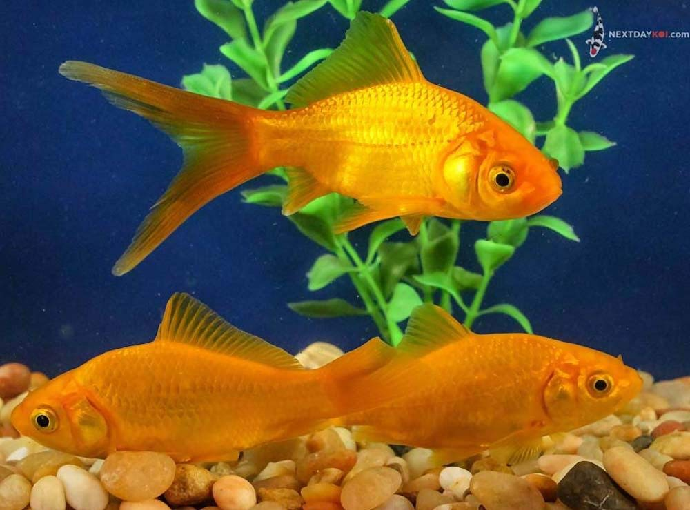 Live Goldfish Pond Fish for Aquarium and Tank, Healthy and