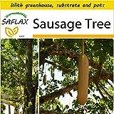 SAFLAX - Potting Set - Sausage Tree - 10 seeds - Kigelia pinnata var. africana