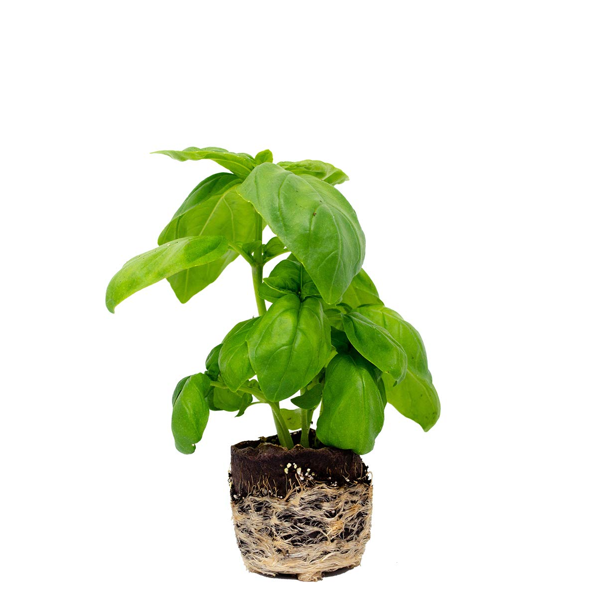 Basil Plants (12) by Plantables (Image #1)