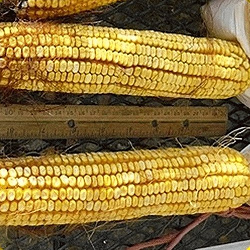 Everwilde Farms - 1 Lb Reid's Yellow Dent Open Pollinated Corn Seeds - Gold - Pollinated Corn Open