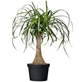 """American Plant Exchange Ponytail Palm Single Trunk Live Plant, 6"""" Pot, Indoor/Outdoor Air Purifier"""