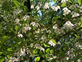 HOT - Styrax Japonica Japanese Styrax Tree Seeds