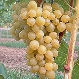 Grüner Garten Shop Glenora, gelbe Traube, saftig, pilzfeste Weinrebe, gestäbt, Pflanze ca. 60-100 cm, im 2 Liter Topf