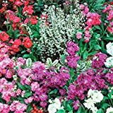 Stock- Matthiola Incana- Mixed - 50 Seeds