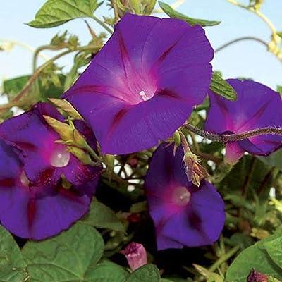 Grandpa OTT Morning Glory Vining Flower : Garden & Outdoor