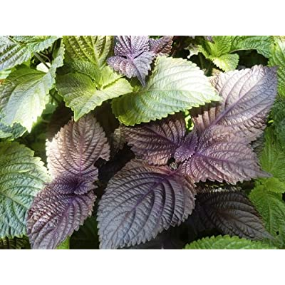 Perilla, Japanese Shiso (Perilla frutescens L.) Herbal Plant Heirloom Seeds, Healthy Culinary Herb : Garden & Outdoor