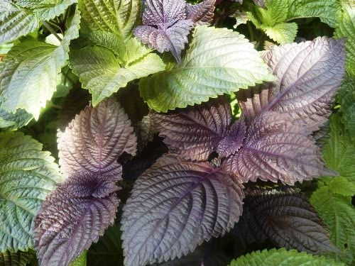 Just Seed Perilla Shiso Red 900 Seed