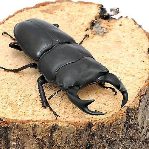 (昆虫)国産オオクワガタ 産地累代数不明 成虫 65~69mm(1ペア) 北海道航空便要保温