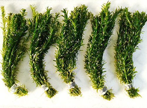 Image of Mainam Anacharis Elodea Densa Tropical Live Aquarium Plants Freshwater Aquatic Pond Water Decorations 3 Days Live Guaranteed