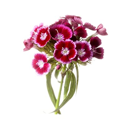 Sweet William Mixed Flower Seeds - 2500 Seeds - Long Blooming Period 8 Weeks - All Zones : Garden & Outdoor