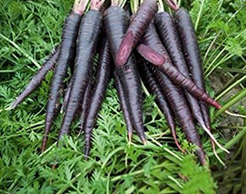 Seeds Market Rare Organic Dark Purple Carrot Edible, 100 seeds, nutritious and healthy vegetables