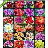 2016 New Arrival 200 SEEDS - Multi-Colored Plumeria Rubra Egg flower Seeds