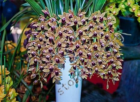 21 Colori 100 PCS Semi Cymbidium, Rare Stagioni Bonsai Semi Di Orchidee,  Piante In