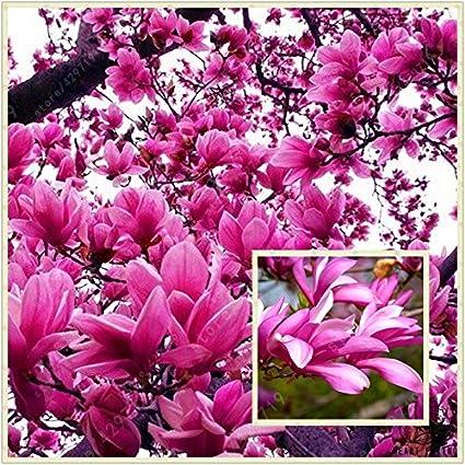 Amazoncom Rare Genie Pink Yulan Magnolia Tree Flower Seeds