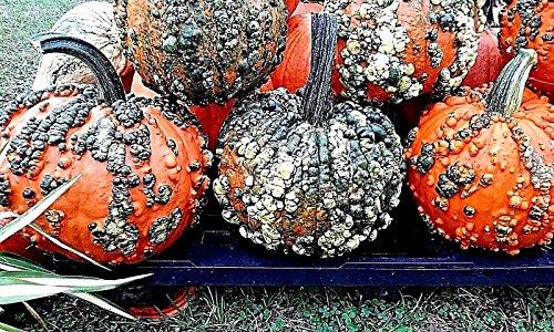 Rare Pumpkin Seeds - 7