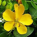 Plant World Seeds - Senna corymbosa Seeds