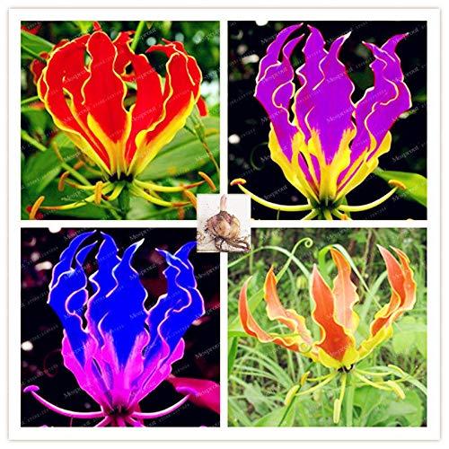 Mixed: Flame Lilies Bulbs, Rare Flower Bulbs, not Seeds, Balcony Seeds Plant, 2 Bulbs