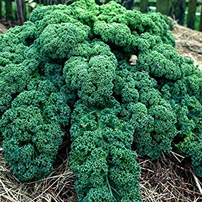 Organic Kale Garden Seeds - Vates Blue Scotch Curled - Non-GMO, Heirloom- Vegetable Gardening & Microgreens