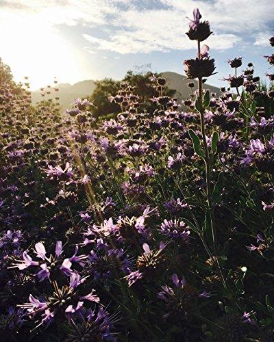 (Purple Sage (Salvia leucophylla) Seeds (~50): Certified Organic, Open-Pollinated)