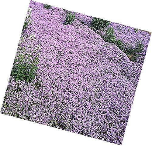PLAT FIRM Semillas DE GERMINACION: Semillas de tomillo rastrero Hierba Thymus Serpyllum Excelente Cobertura de Tierra 10000 x Dwarf
